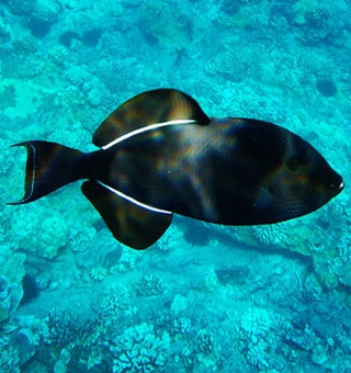 Black Triggerfish