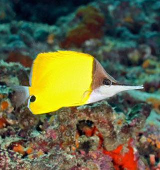 Longnose Butterflyfish - Hawaii Fish