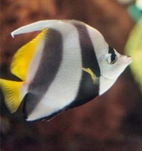 Pennant Butterflyfish