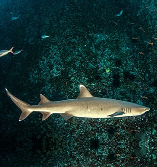 Whitetip Reef Shark