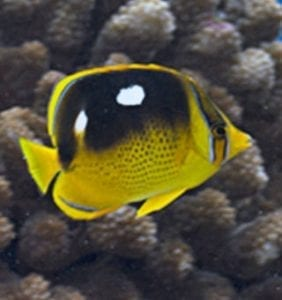 FOUR SPOT BUTTERFLYFISH