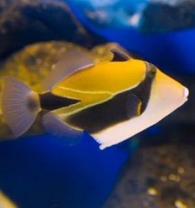 hawaii fish Humuhumunukunukuapua'a