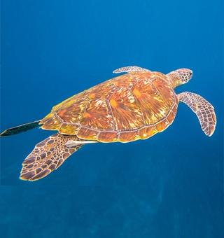 Hawksbill Sea Turtle (Honu'ea)