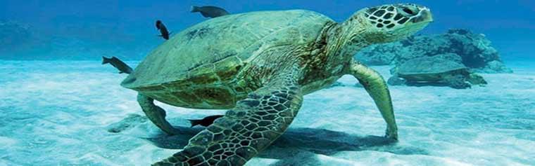 turtle-town-maui