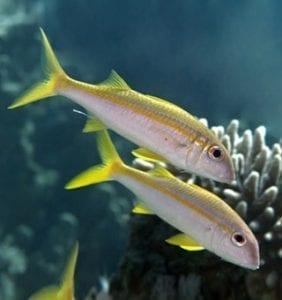 Yellowfin Goatfish