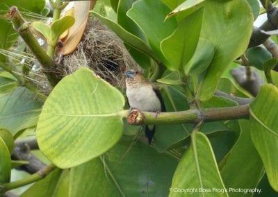 Chestnut Mannikin | Maui Birds
