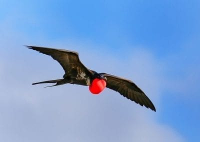 Great Frigatebird | Maui Birds