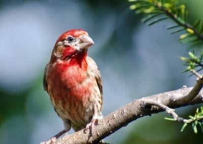 House Finch | Maui Birds