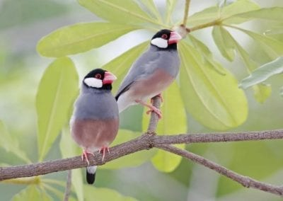 Java Sparrow | Maui Birds