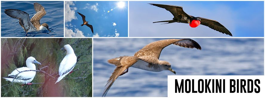 Molokini Sea Birds