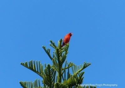 Northern Cardinal | Maui Birds