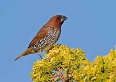 Nutmeg Mannikin | Maui Birds