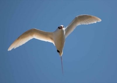 Red-tailed Tropicbird | Maui Birds