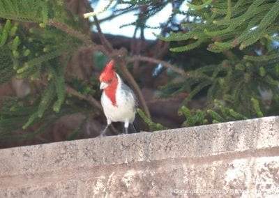 Red Crested Cardinal | Maui Birds