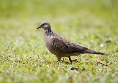 Spotted Dove | Maui Birds