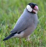Java Sparrow - Maui Birds