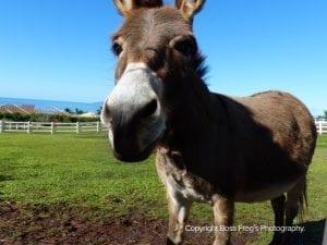 Lahaina Animal Farm - donkey