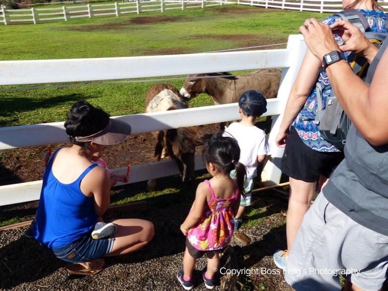 Lahaina Animal Farm - feeding chickens