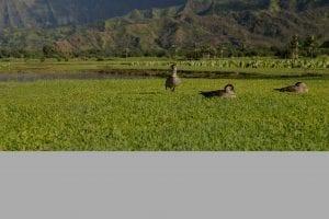 Maui Birds - Nene Goose