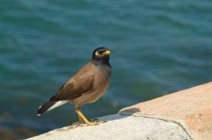 Myna Bird - Maui Birds