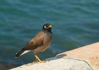 Myna  | Maui Birds