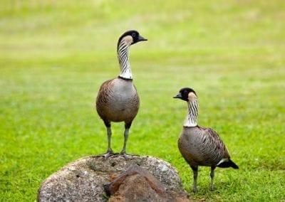 Nene goose - Maui Birds