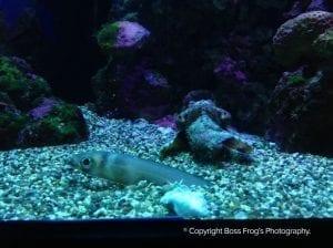 Conger Eel and Flying Gurnard - Maui Ocean Center