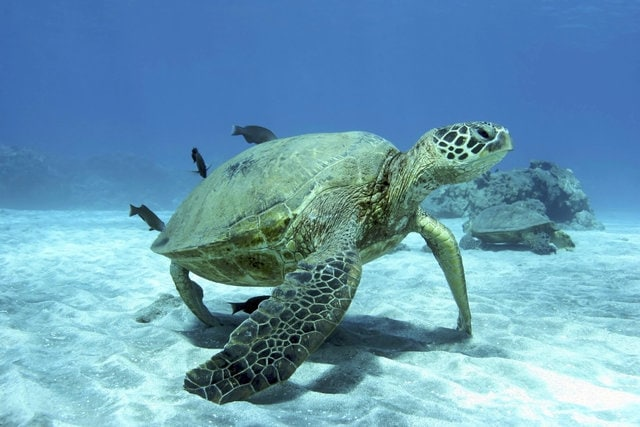 Turtle seen while snorkeling in Maui