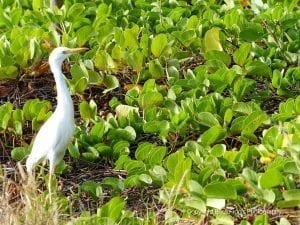 Cattle Egret in Maui