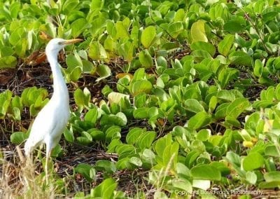 Cattle Egret | Maui Birds