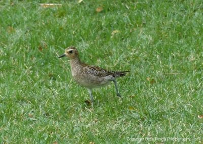Pacific Golden Plover | Maui Birds