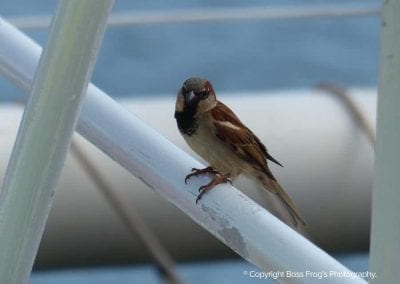 House Sparrow | Maui Birds