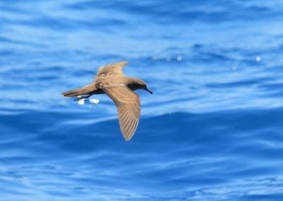 Wedge-tailed Shearwater  | Maui Birds