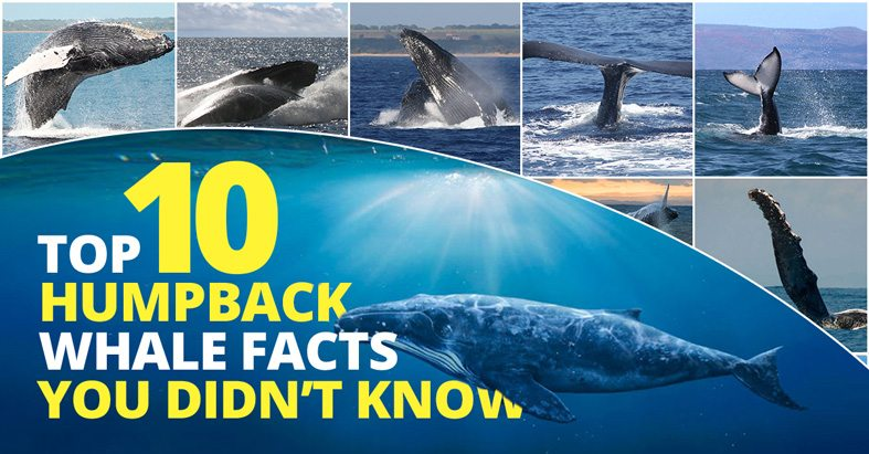 Top 10 Humpback Whale Facts You May Not Know