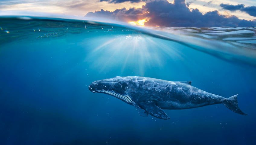 Top 10 Humpback Whale Facts Boss Frog S Snorkel
