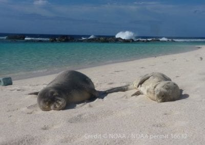 Hawaiian monk seal Niho`ole (right), a prematurely weaned male pup, rests on a beach in Laysan. Niho`ole is currently rehabilitating at The Marine Mammal Center's Ke Kai Ola hospital in Kona.