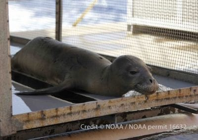 Hawaiian monk seal Niho`ole, a prematurely weaned male pup, rests in a carrier aboard the Oscar Elton Sette before being transported to The Marine Mammal Center's Ke Kai Ola hospital in Kona for rehabilitation.