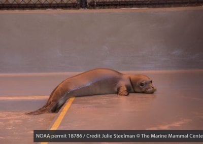 Prematurely weaned Hawaiian monk seal pup Lele-aka gets acquainted with her pen at The Marine Mammal Center's Ke Kai Ola hospital in Kona.