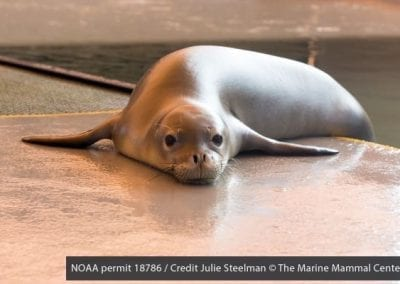 Prematurely weaned Hawaiian monk seal pup Lele-aka arrived at The Marine Mammal Center's Ke Kai Ola hospital with three other monk seals from the Northwest Hawaiian Islands in the Papahānaumokuākea National Marine Monument.