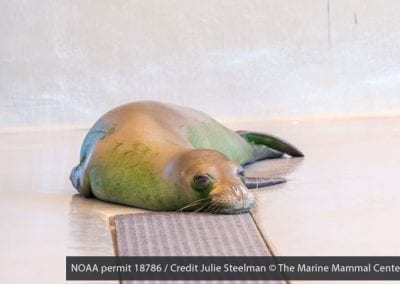 Hawaiian monk seal Ha`aheo, a female yearling, is currently rehabilitating at The Marine Mammal Center's Ke Kai Ola hospital.