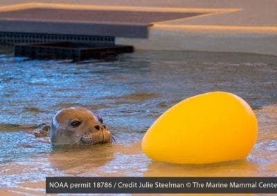Hawaiian monk seal Niho`ole, a prematurely weaned male pup, interacts with an enrichment item in his pool at The Marine Mammal Center's Ke Kai Ola hospital.