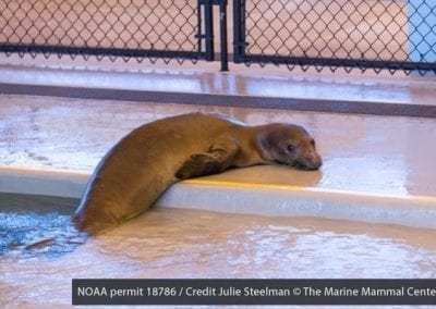 Five-year-old Hawaiian monk seal Mea Ola is rehabilitating at The Marine Mammal Center's Ke Kai Ola hospital after being rescued in the Northwestern Hawaiian Islands.