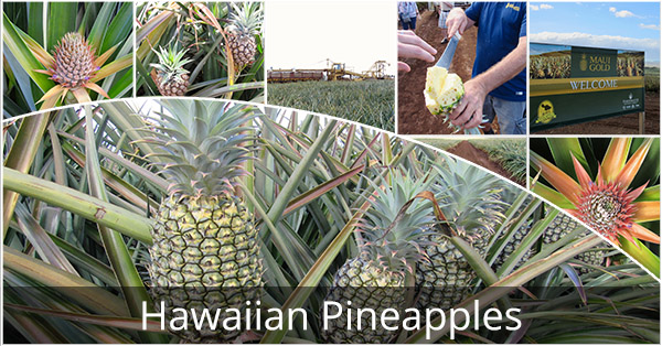 Hawaiian_Pineapples_Blog