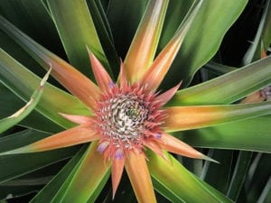 Hawaiian_Pineapples_Bloom