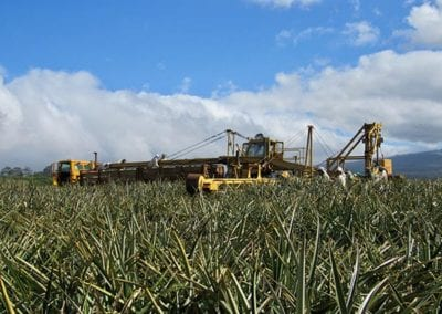 Hawaiian_Pineapples_Harvest