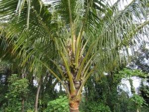 Coconuts_Hawaii_Palm
