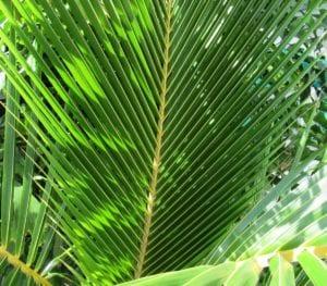 Coconuts_Hawaii_PalmLeaf