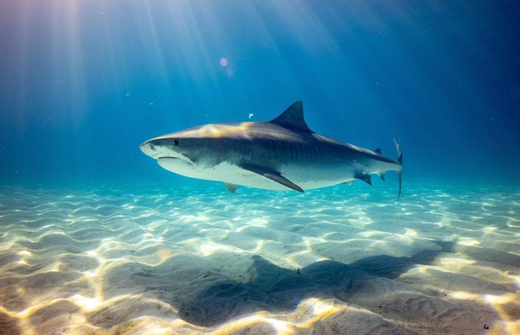 Hawaii Wildlife Shark