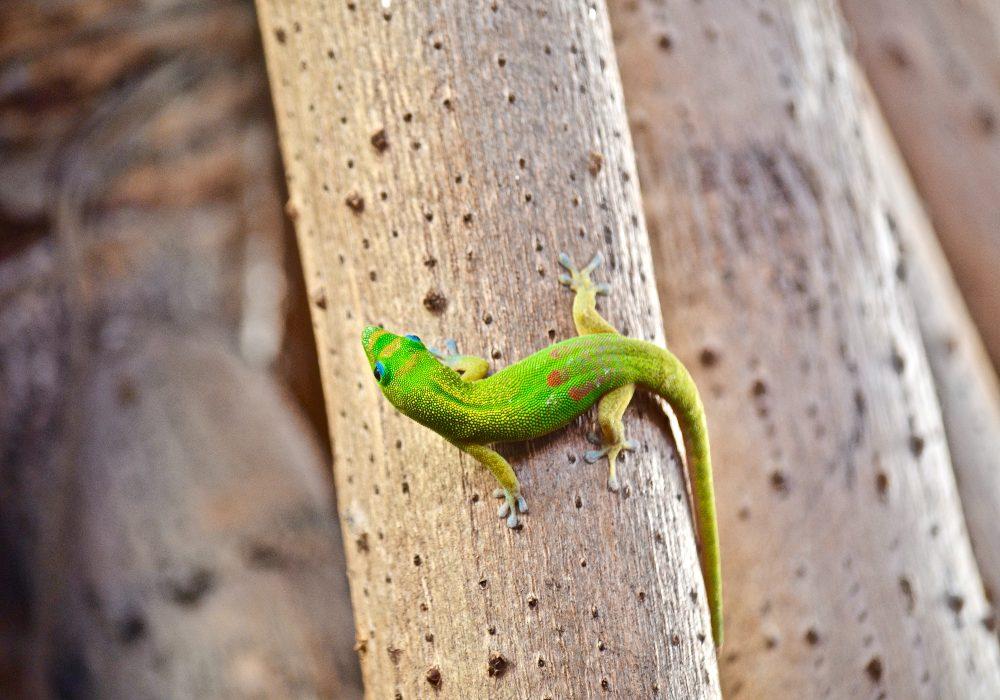 Hawaii_Wildlife_Gecko