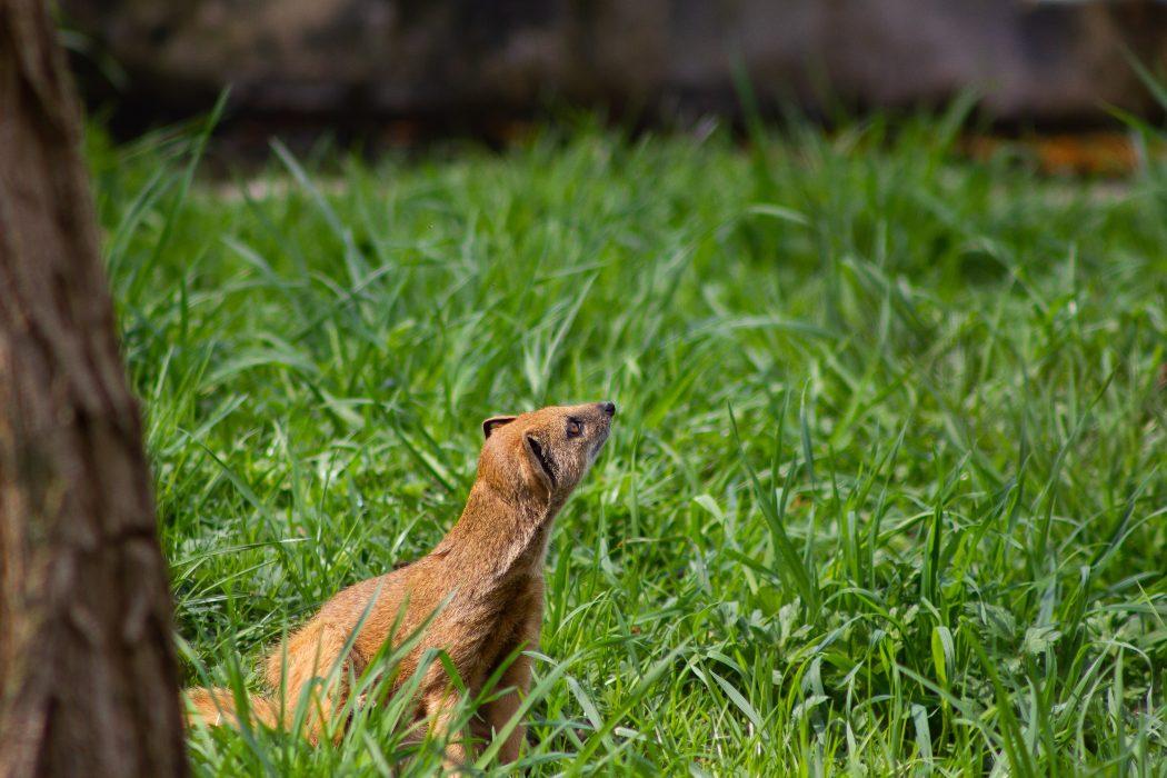 Hawaii_Wildlife_Mongoose